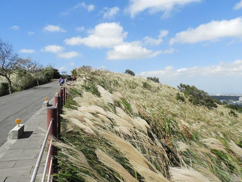 道路與山坡飄逸的芒草花