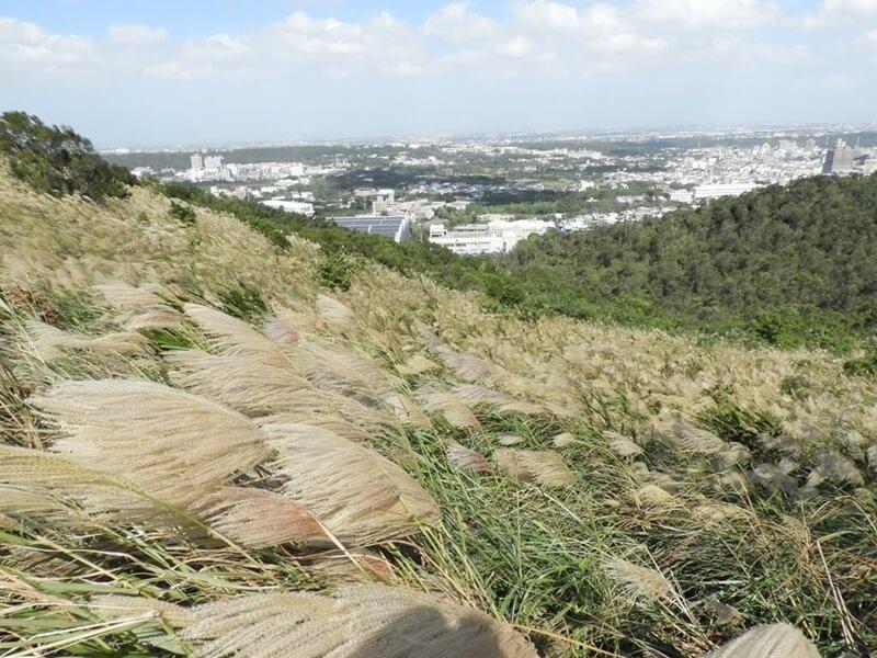 整片山坡都是芒草花