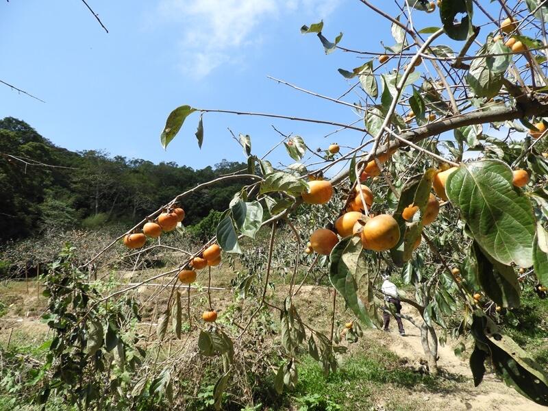 味衛佳後山的柿餅園