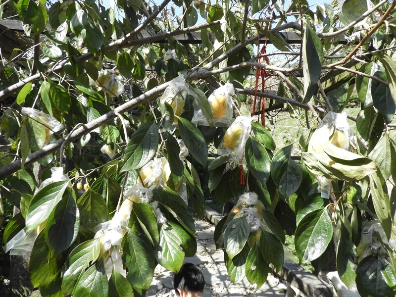 金漢杮餅後山可以看到套袋的柿子
