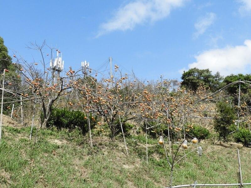 山坡上非常多柿子樹