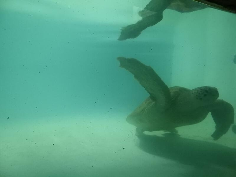 野柳海洋世界有綠蠵龜唷!