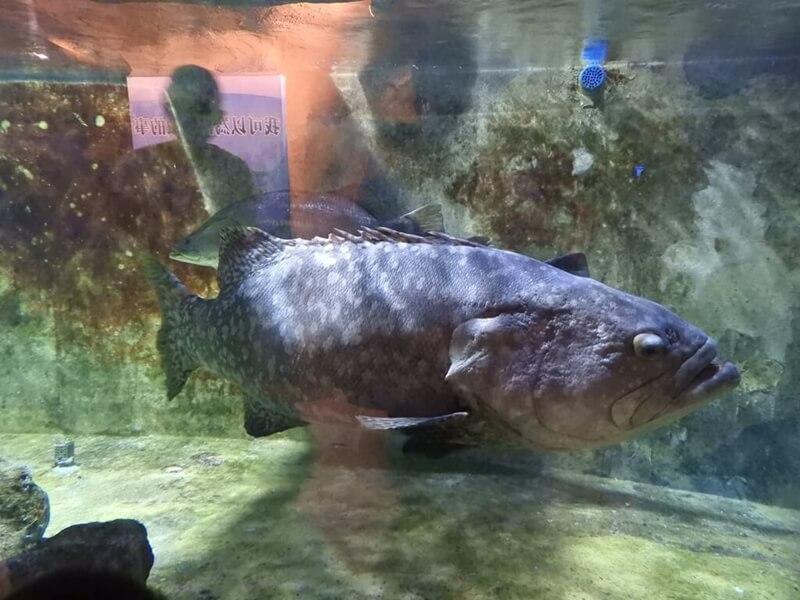 超巨大的鞍帶石斑魚