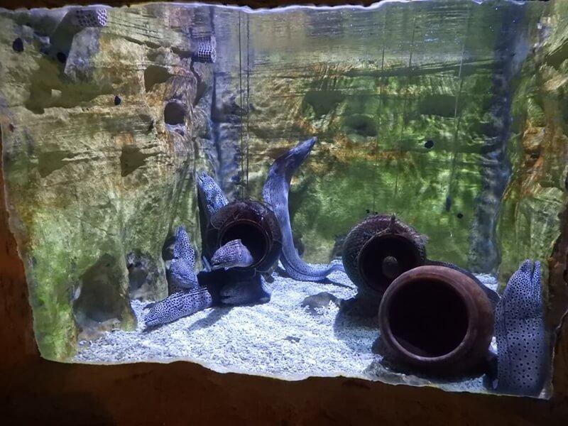 野柳海洋世界的薯鰻