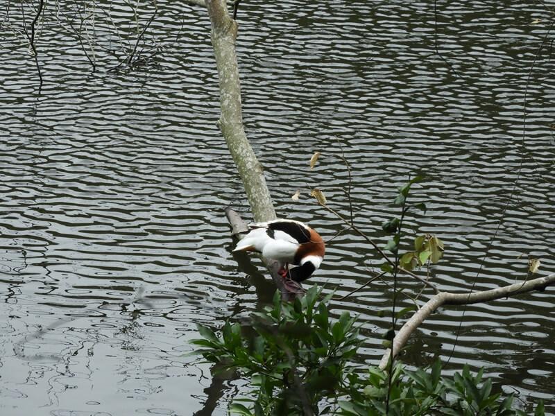 鴛鴦湖上的鴨子