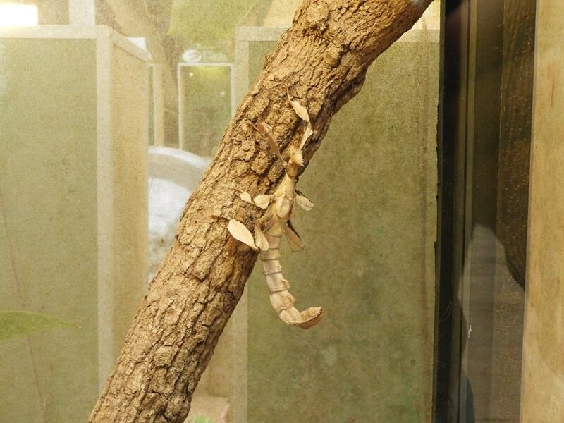 幽靈竹節蟲