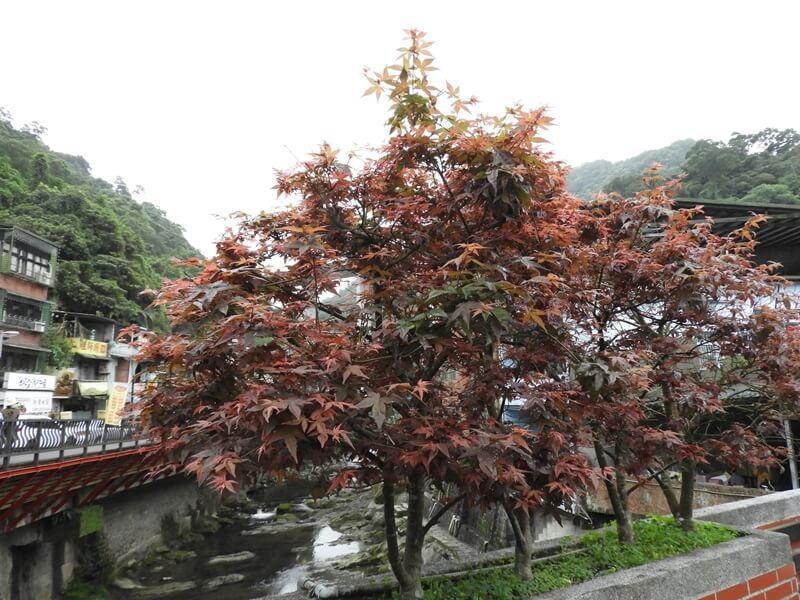 小橋上的楓樹紅了